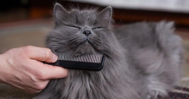 chat poils longs entretien
