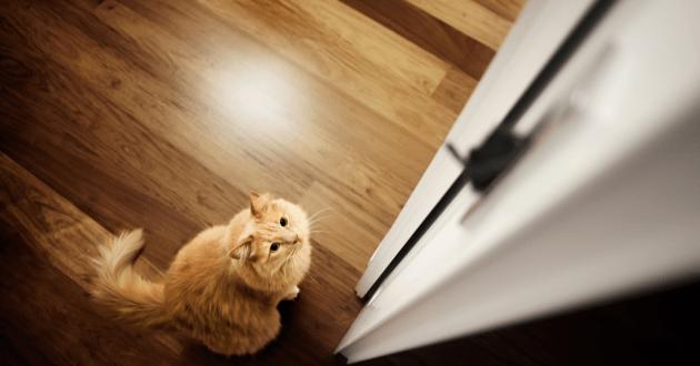 Chat devant une porte et qui regarde la poignée