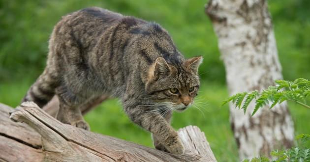 chat australie prédateur