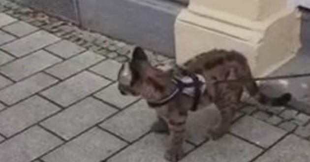 chat qui est un puma