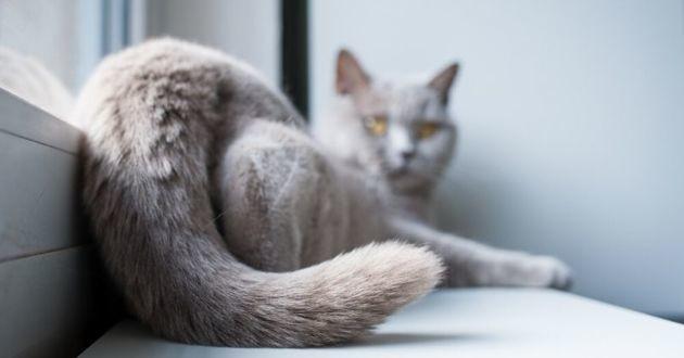 queue de chat gris