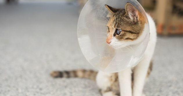 chat qui a été stérilisé