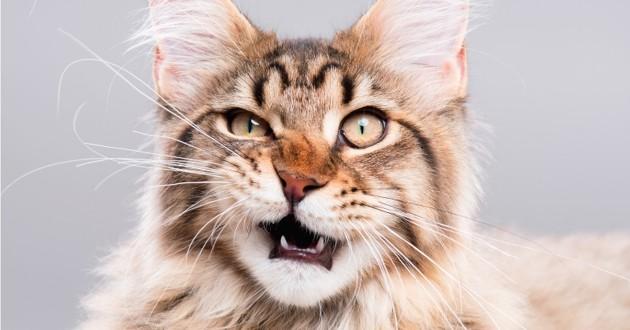 chat qui grimace