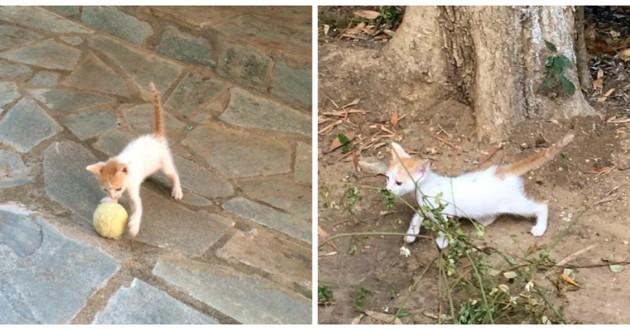 chat roux blanc