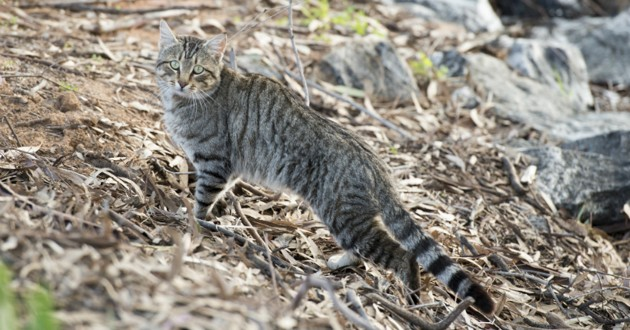 chat sauvage dans la nature
