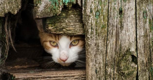 chat sauvage qui se cache