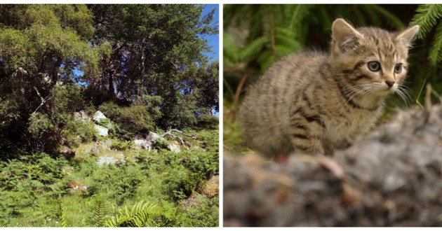 chat sauvage ecosse