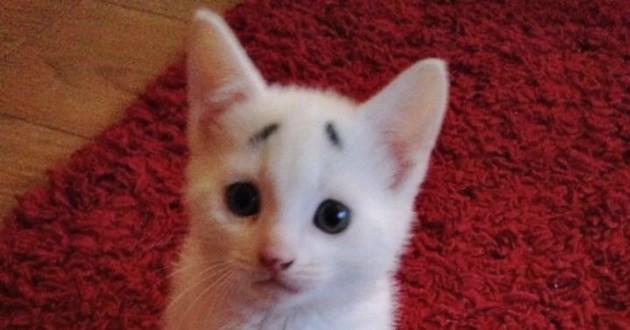chaton sourcils