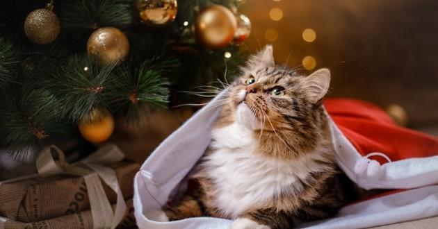 Chat aux poils longs sous un sapin de Noël