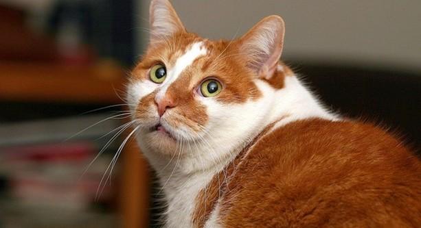 Appelé aussi Persan colour point, ce chat est un formidable animal de compagnie.
