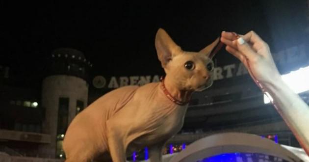 chat tatoué sphinx