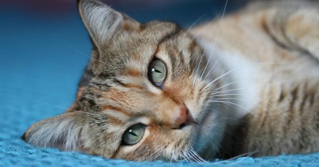 chat tigré allongé malade