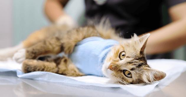 À quel âge faire stériliser sa chatte ?