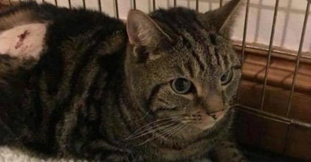 chat tigré cage