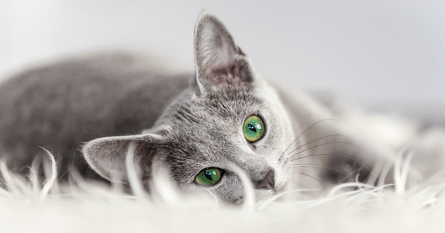 chat yeux verts