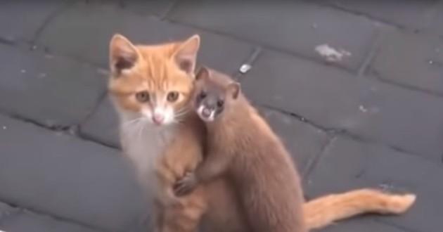 L'amitié improbable partagée par ce chat et cette belette va vous faire craquer ! (Vidéo du jour)