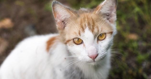 chat errant blanc et roux