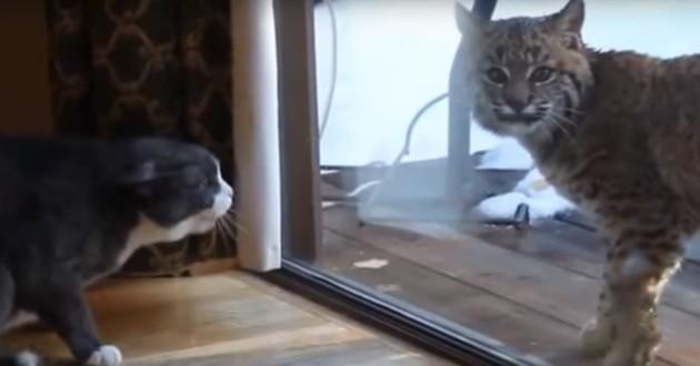 chat domestique lynx