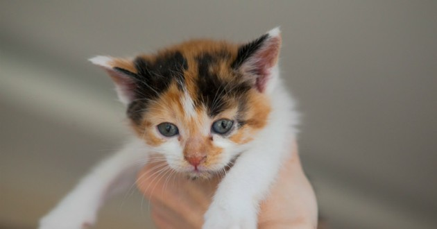 chaton calico mâle
