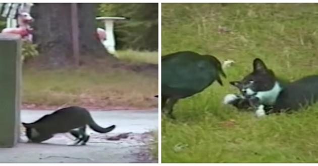 chaton corbeau