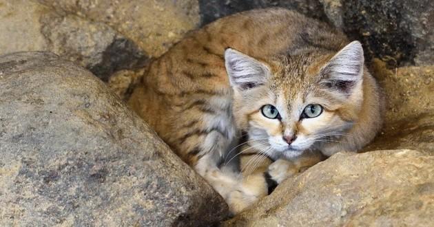 chat désert félis margarita