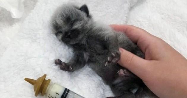 Chaton gris avec un manteau de fièvre