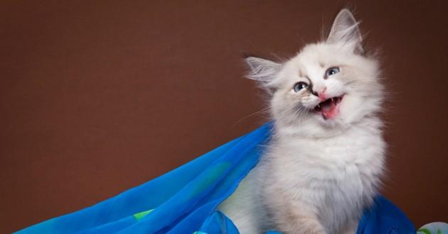 chaton miaulement