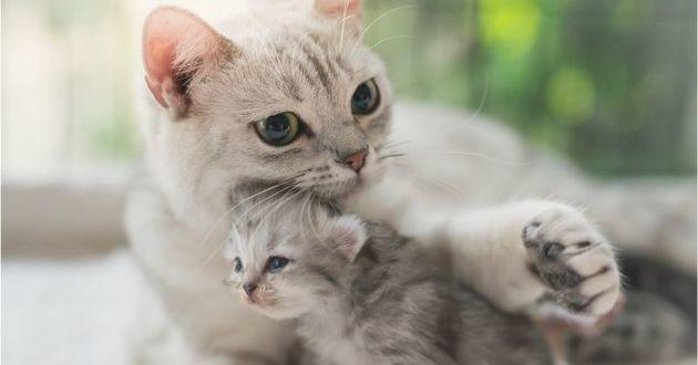 un chat adulte et un chaton american longhair