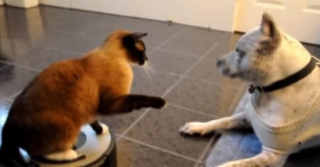 chat sur aspirateur robot