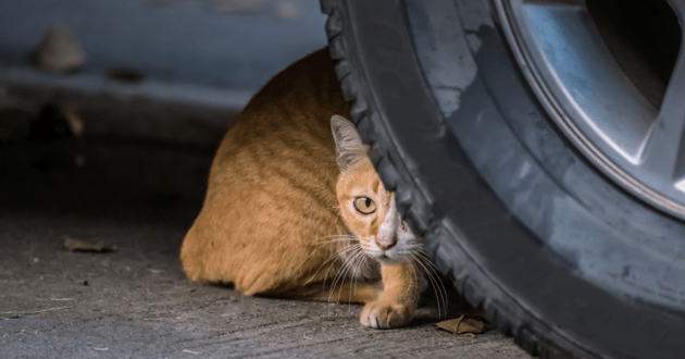 chat sous voiture