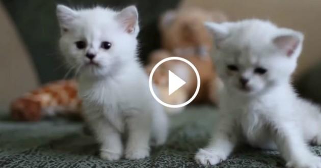 Trop Mignons Ces Adorables Chatons Blancs Qui Jouent Vont Vous Faire Craquer Vidéo Du Jour Vidéos Wamiz
