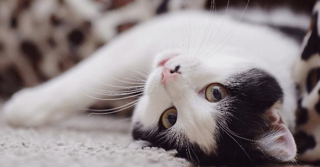 Votre chat tourne compulsivement sur lui-même ? Un vétérinaire vous explique !
