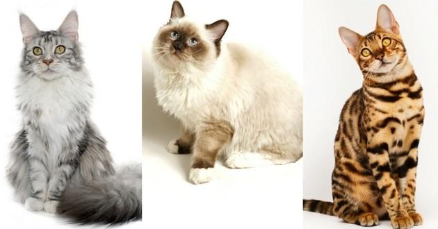 races de chats préférées des français 2017