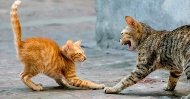 chat et ses congénères