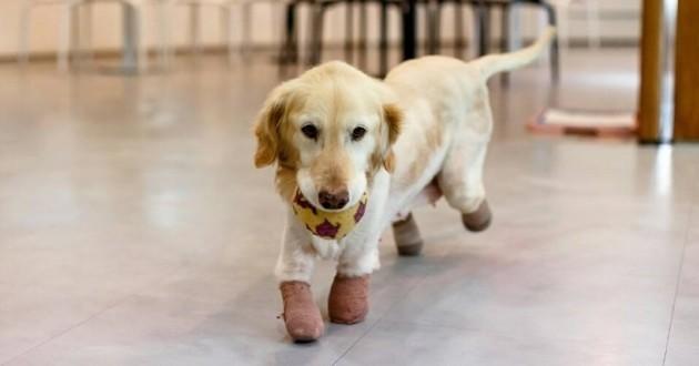 Arrachée des mains d'un trafiquant de viande, cette chienne amputée a trouvé sa famille