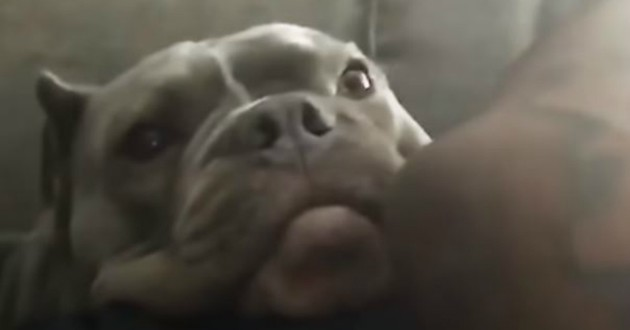 chien pibtull noir