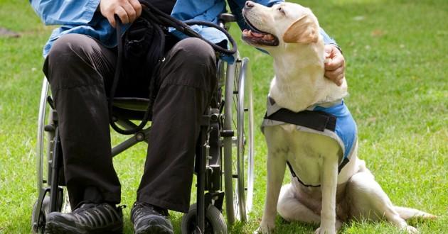 un chien d'assistance qui regarde son maître assis dans un fauteuil roulant