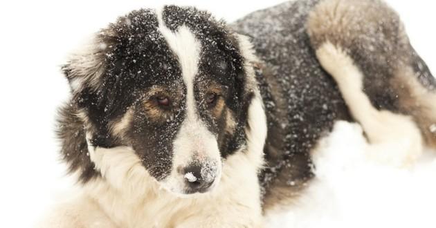 chien neige avalanche