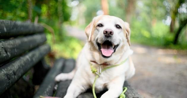 chien labrador sur un banc