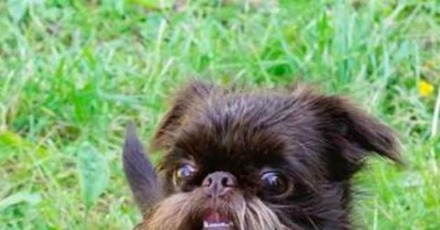 chien barbe