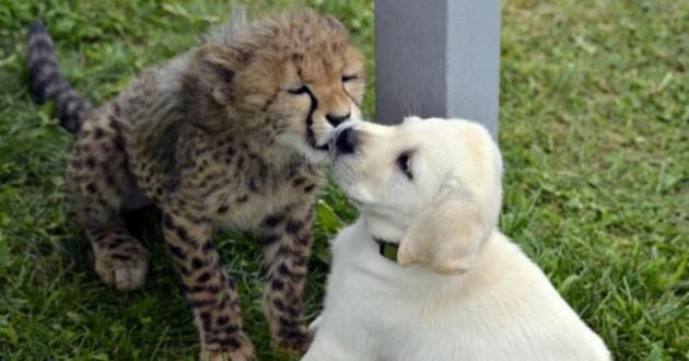 chien guépards bisous