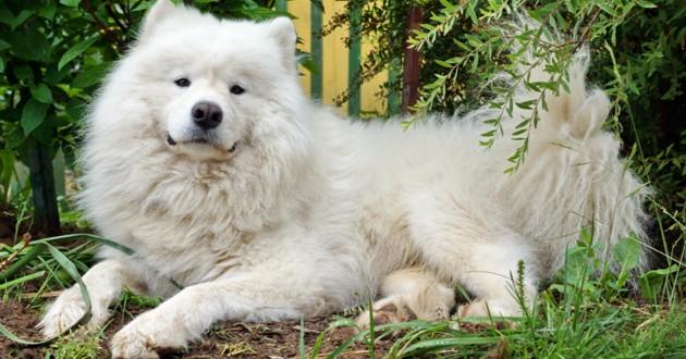 samoyede chien blanc