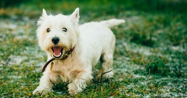 chien blanc promenade