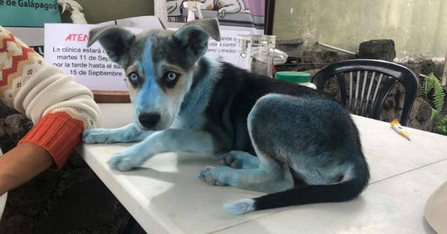 chien husky bleu