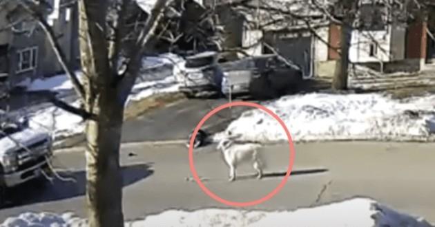 chien qui a sauvé son humaine