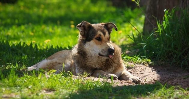 chien chaleur soleil été