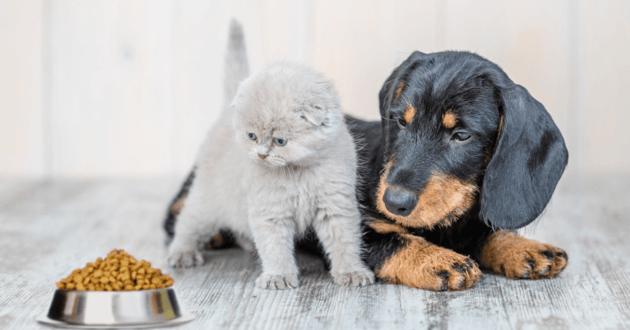 Chiot et chaton regardent une gamelle de croquettes