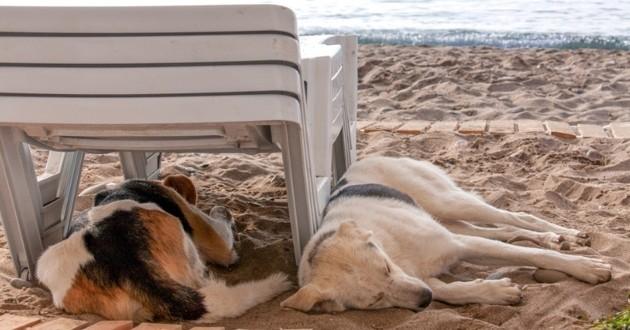 Chien chaleur plage