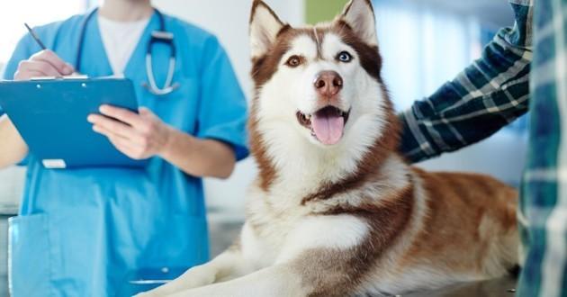 vétérinaire et Husky