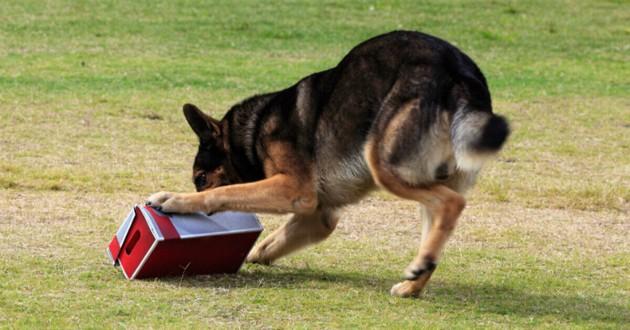 chien qui joue avec un colis
